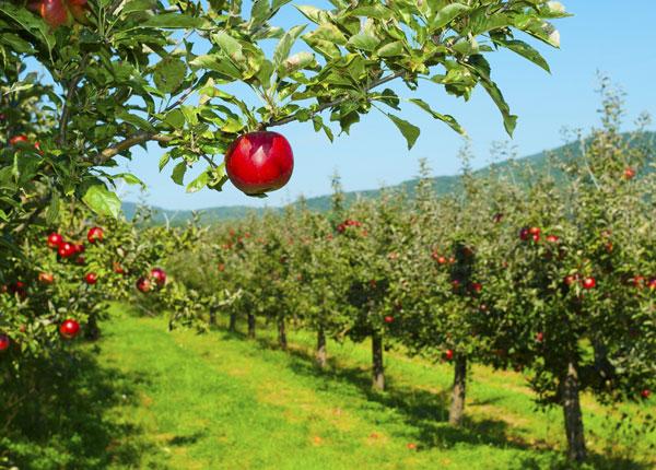 apple-picking_4 shut